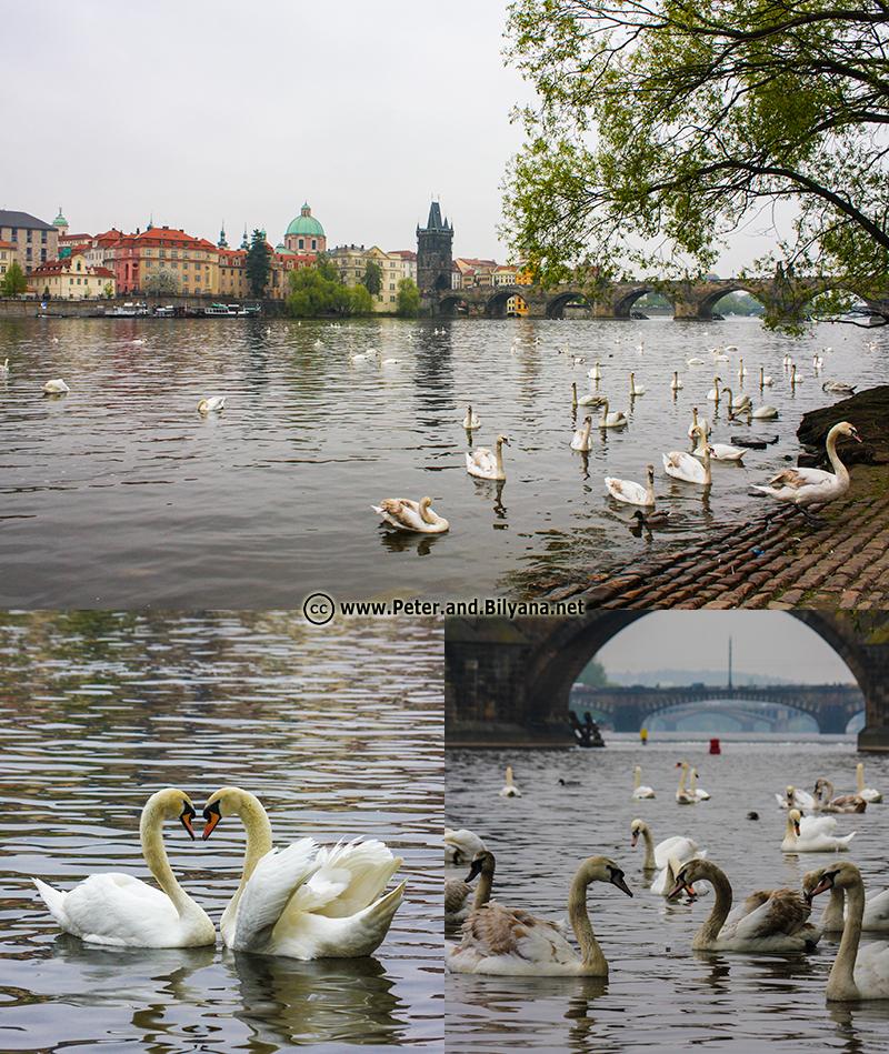 20-Swans