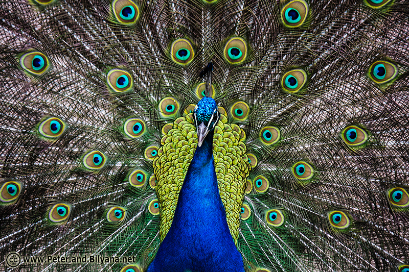 22-Peacock
