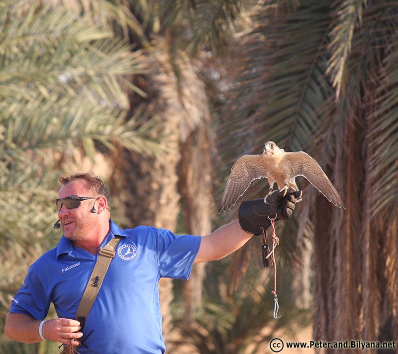 desert-dubai-falcon