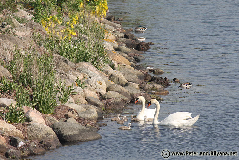 malmo-swans